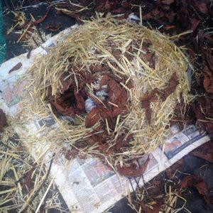 Simeon is a hefty 900g today, and he's built a beautiful nest. Hopefully he'll hibernate soon.